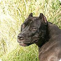 Adopt A Pet :: Koko - Des Peres, MO