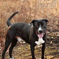Adopt A Pet :: Sam- Tri County Pit Bull Rescue - Fredericksburg, VA