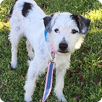 Adopt A Pet :: Bijou In Dallas/Ft Worth, TX - Austin, TX