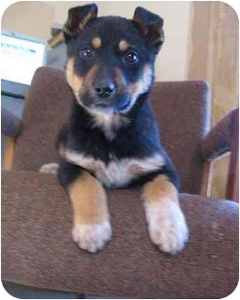 Doberman Shepherd Mix Puppies For Sale Shepherd mix puppy for