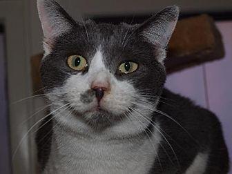 Domestic Shorthair Cat for adoption in Port Clinton, Ohio - Drew Carey