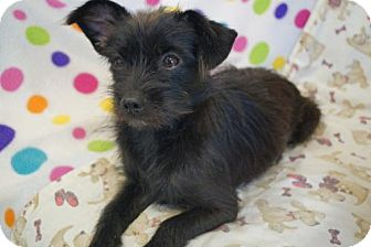 Yorkie, Yorkshire Terrier/Cairn Terrier Mix Dog for adoption in Agoura Hills, California - 'TINY B'