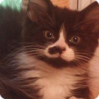 Adopt A Pet :: Sir Bentley - Warren, OH