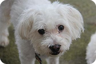 Maltese Dog for adoption in Belcamp, Maryland - Hank (GA)