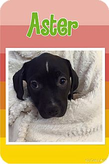 American Pit Bull Terrier/Pit Bull Terrier Mix Puppy for adoption in Rosamond, California - Aster