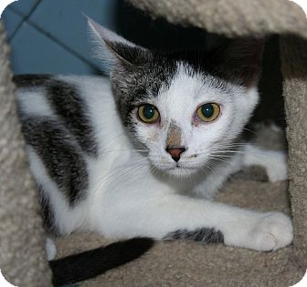 Domestic Shorthair Kitten for adoption in Santa Rosa, California - Daffodil