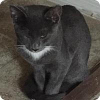 Domestic Shorthair Cat for adoption in Glendale, Arizona - Jasper
