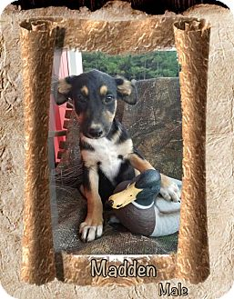 Shepherd (Unknown Type) Mix Puppy for adoption in Manchester, Connecticut - Madden-pending adoption