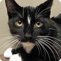 Domestic Shorthair Cat for adoption in Shorewood, Illinois - Prince