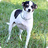 Chihuahua Mix Dog for adoption in Waldorf, Maryland - Moo Moo- Adoption Pending