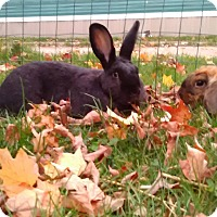 Flemish Giant Mix for adoption in Flint, Michigan - Hank