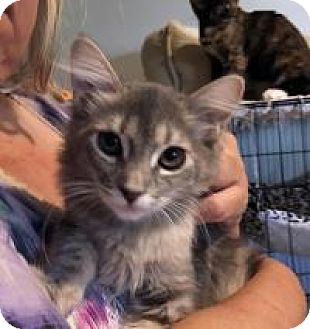 Maine Coon Kitten for adoption in Mission Viejo, California - Frosty