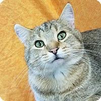 Domestic Shorthair Kitten for adoption in Colfax, Iowa - Gavin