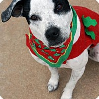 Adopt A Pet :: Pepper - Norman, OK