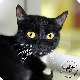 Domestic Shorthair Cat for adoption in Lyons, New York - Phantom