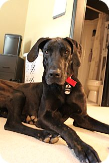 Great Dane Dog for adoption in Broomfield, Colorado - Thor