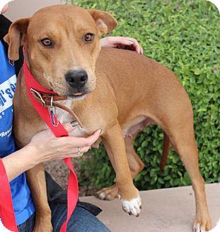 Vizsla/Labrador Retriever Mix Dog for adoption in Phoenix, Arizona - Penny