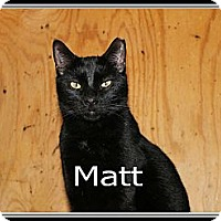 Domestic Shorthair Cat for adoption in Wichita Falls, Texas - Matt