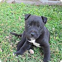 Adopt A Pet :: Jaxon - Brattleboro, VT