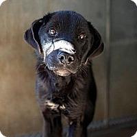 Adopt A Pet :: Cody - Nanuet, NY