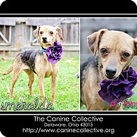 Adopt A Pet :: Esmeralda - Delaware, OH