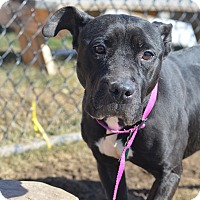 Adopt A Pet :: Nina Blackwell(foster care) - Philadelphia, PA