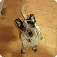 Adopt A Pet :: Lottie Dottie - Houston, TX