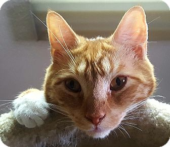 Domestic Shorthair Cat for adoption in Bronx, New York - Hansel