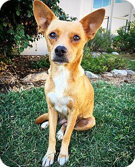 Chihuahua Mix Dog for adoption in Fredericksburg, Texas - Hocus