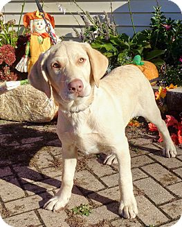 Labrador Retriever Mix Puppy for adoption in West Chicago, Illinois - Evelyn