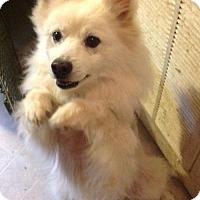 American Eskimo Dog Dog for adoption in Mount Vernon, Washington - Zeke of Centralia Washington State