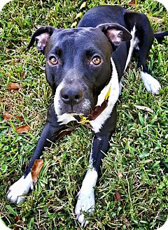 Pit Bull Terrier Mix Dog for adoption in Houston, Texas - Selma