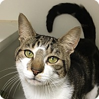 Adopt A Pet :: Lap Snuggler BASH - New York, NY
