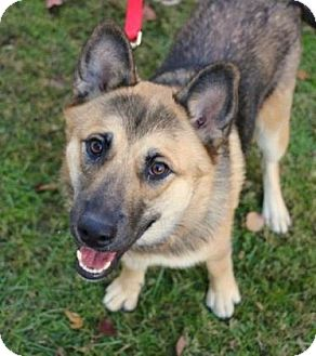 Shepherd (Unknown Type) Mix Dog for adoption in Chester Springs, Pennsylvania - Queen