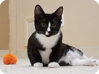 Domestic Shorthair Kitten for adoption in Akron, Ohio - Razor