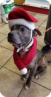 American Pit Bull Terrier Mix Dog for adoption in Baltimore, Maryland - Bruno (DOG OF THE MONTH!)
