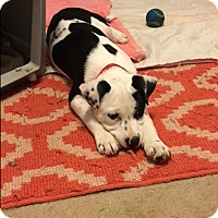 Adopt A Pet :: Patchy - Allentown, PA