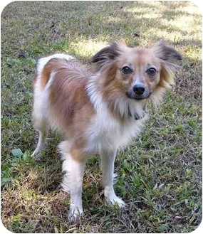 Pappy Adopted Dog Mocksville Nc Papillon Italian Greyhound Mix