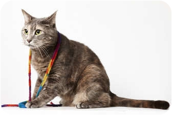 Domestic Shorthair Cat for adoption in New York, New York - Frannie