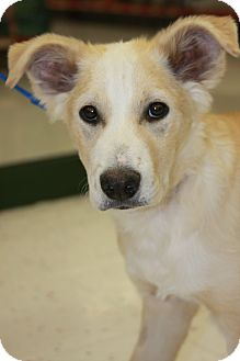 Labrador Retriever/Husky Mix Puppy for adoption in Phoenix, Arizona - Lucky
