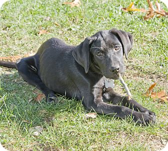 Labrador Retriever Mix Puppy for adoption in Brooklyn, New York - Adorable Alanis
