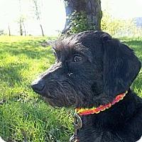 Adopt A Pet :: DINO - Portland, OR