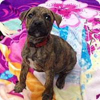 Adopt A Pet :: Cinnamon weeks old - Marlton, NJ
