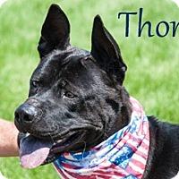 Adopt A Pet :: Thorn - Hamilton, MT