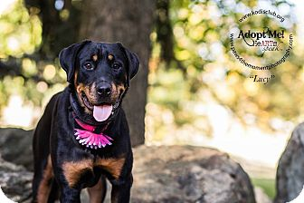 Rottweiler Mix Puppy for adoption in Frederick, Pennsylvania - Lucy