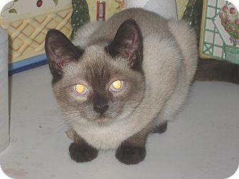 Siamese Cat Adoption Ct