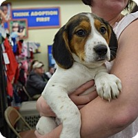 Adopt A Pet :: Elf - Sparta, NJ