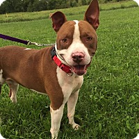 Pit Bull Terrier Mix Dog for adoption in Maryville, Missouri - Bruce Banner