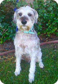 Schnauzer (Miniature) Mix Dog for adoption in Corona, California - BARNEY