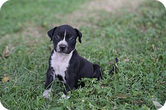 Pit Bull Terrier Mix Puppy for adoption in San Antonio, Texas - Ronnie